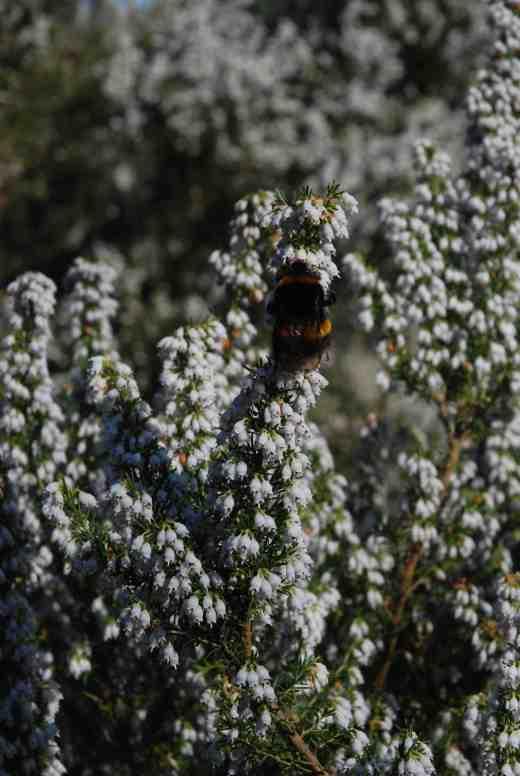 erica-arborea-and-bee-copy