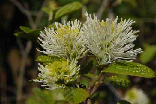 fothergilla-major-glasn-copy