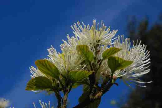 fothergilla-major-glasn4-copy