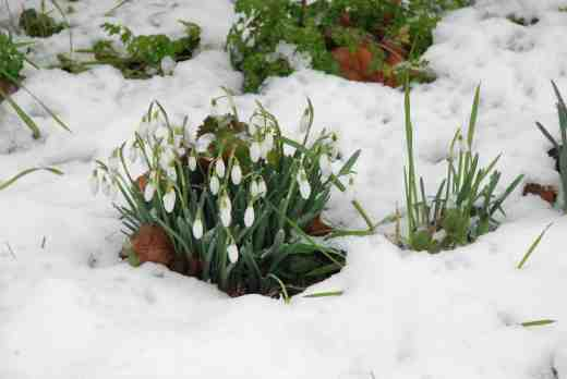 galanthus-in-snow-210-14-copy