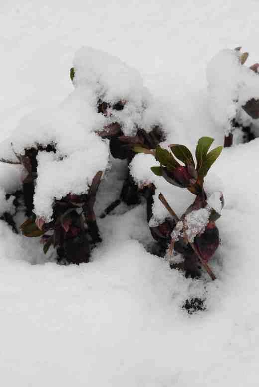 hellebore-in-snow-210-copy