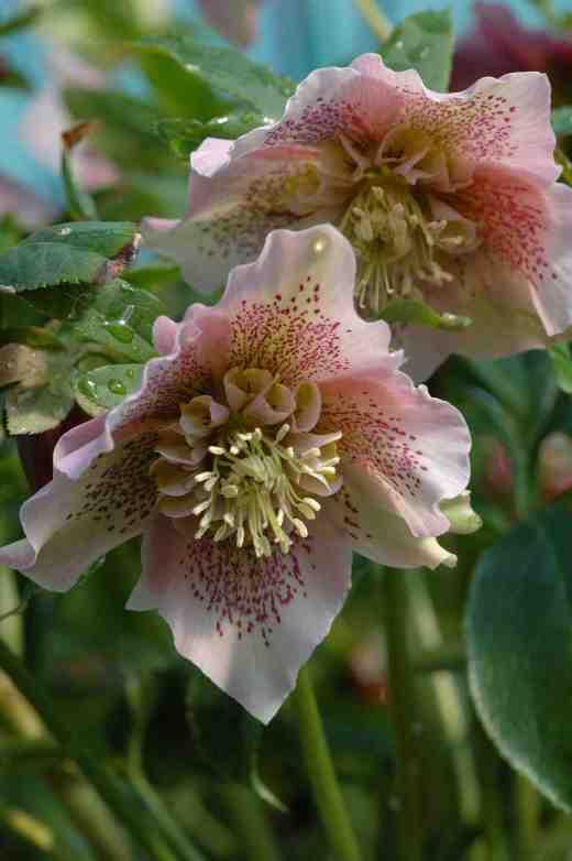 helleborus-anemone-pink-3-06-copy