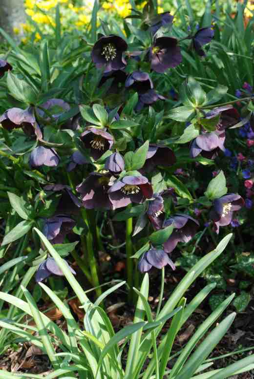 helleborus-dark-frances3-copy