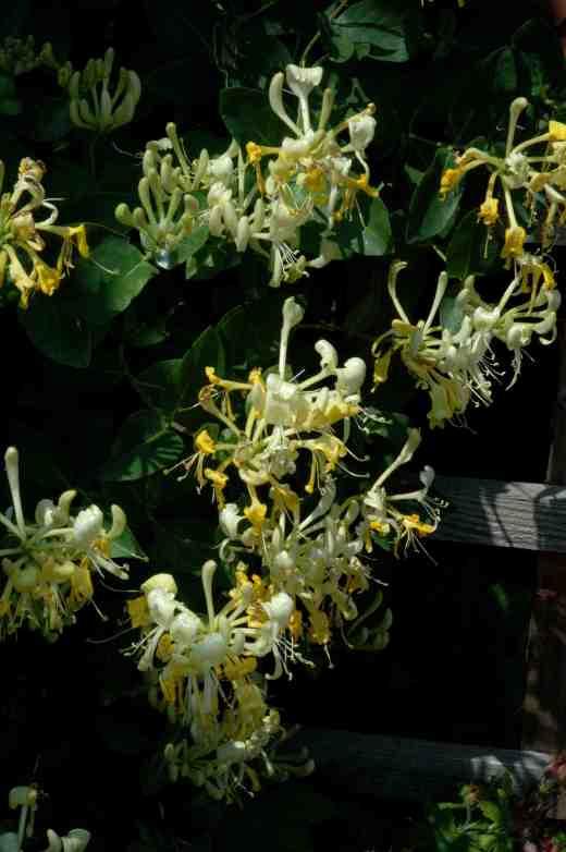 lonicera-peri-scentsation-12-06-06-copy
