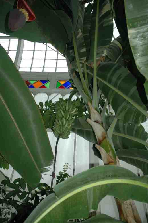 musa-variegated-conservatory-of-flowers-sf-2-copy