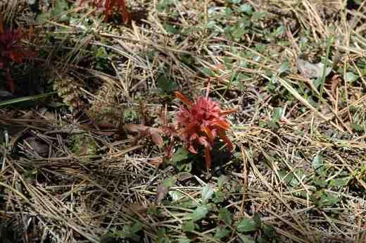 pedicularis-densiflora-44-to-redding-shasta-n-calif-3-copy