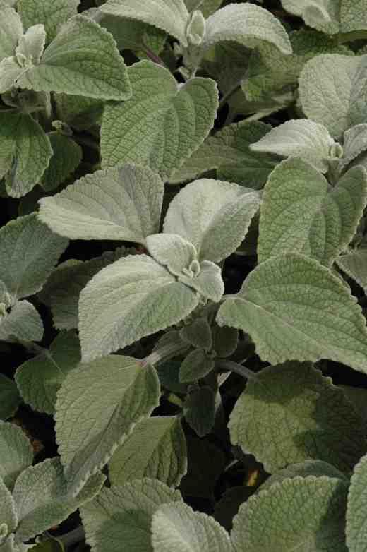 plectranthus-argentatus-silver-shield3-copy