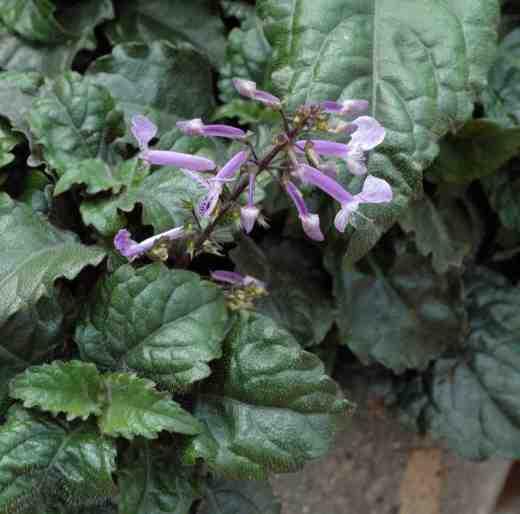 plectranthus-mona-lavender-ball-cole-7-06-copy