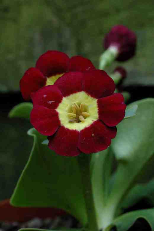 primula-auricula-cherry-2-4-06-copy