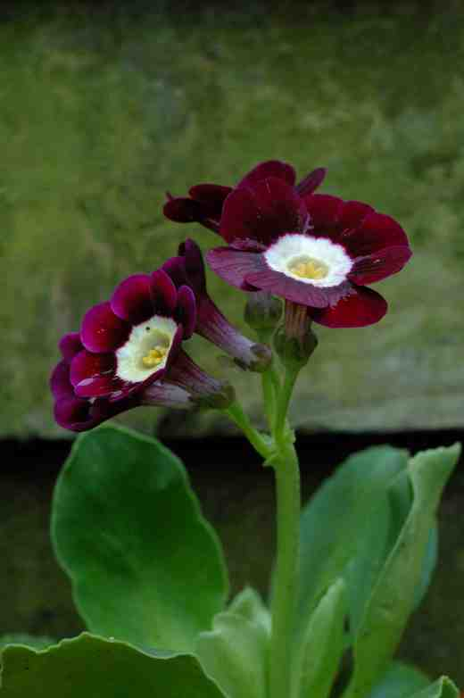 primula-auricula-purple-4-06-copy