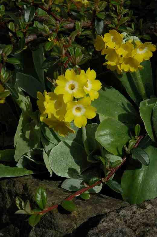 primula-auricula-yellow-4-062-copy