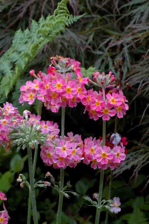 primula-candelabra-arley-6-062-copy