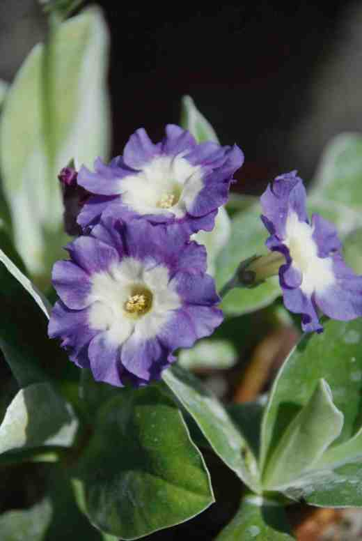 primula-irish-blue2-copy