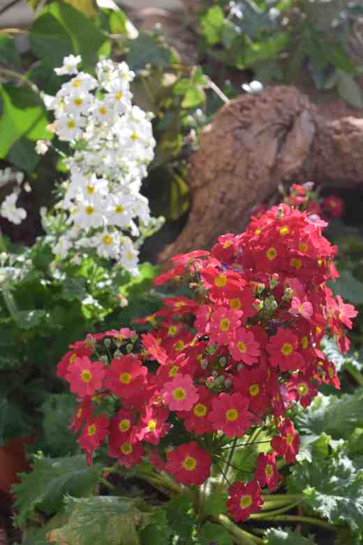 primula-malacoides-glasn5-copy