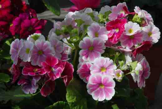 primula-obconica-glasn-copy