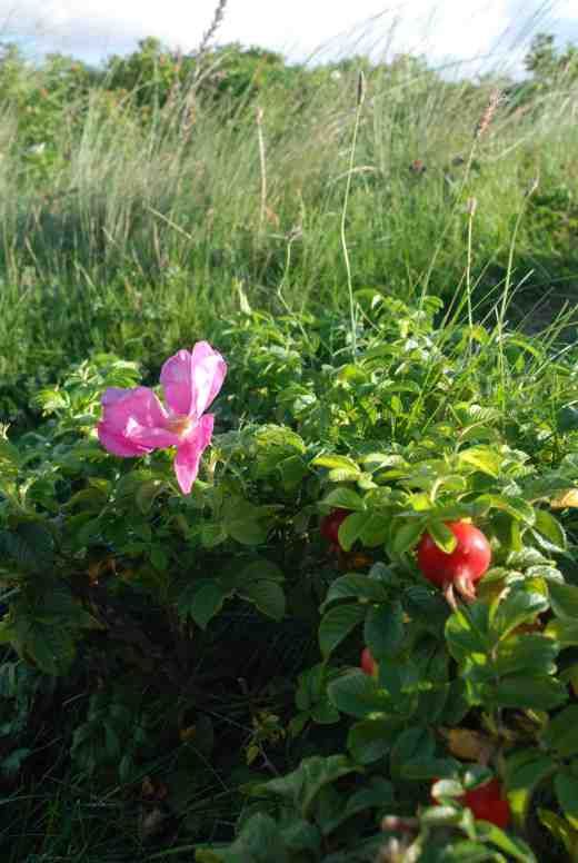 rosa-rugosa-sthpt-8102-copy