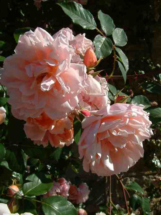 rose-albertine-northants-copy