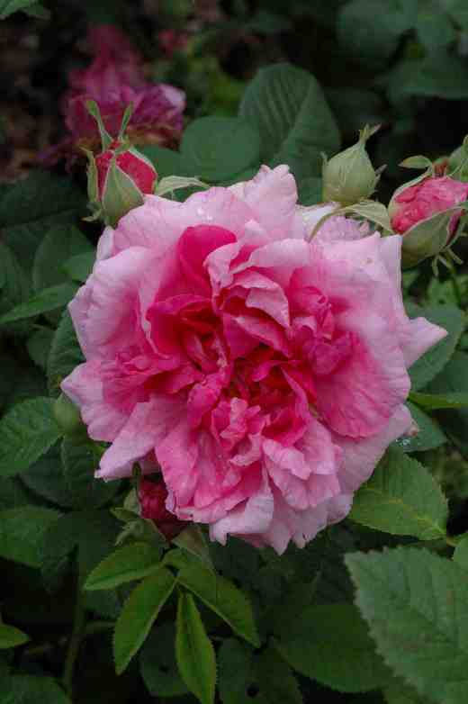 rose-belle-de-crecy-arley-6-06-copy