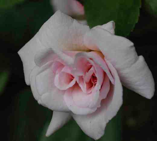 rose-ceceile-brunne2-copy