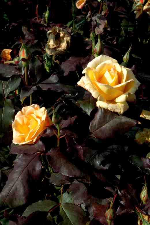 rose-freddie-mercury-ckj-copy
