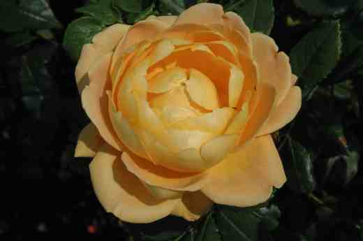 rose-golden-celebration-ckj2-copy