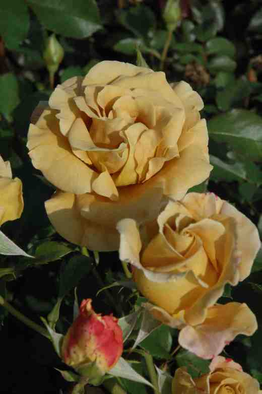 rose-honey-dijon-ckj2-copy