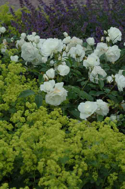 rose-iceberg-alchemilla-arley-6-06-copy