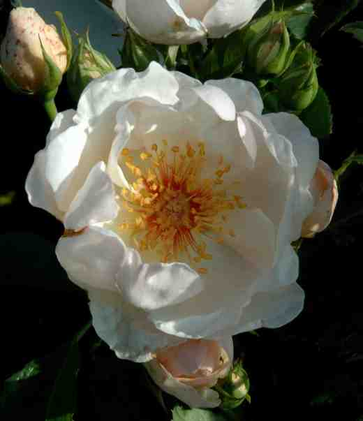 rose-jacqueline-de-pre-ckj2-copy