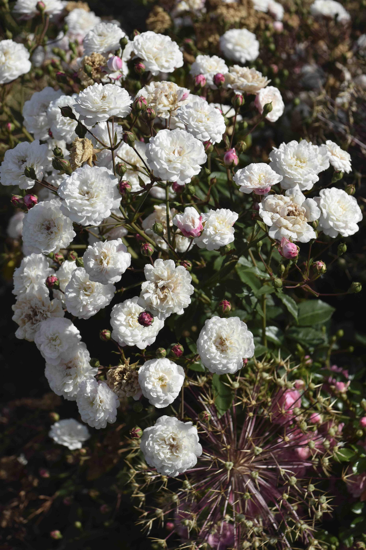 White Roses The Biking Gardener