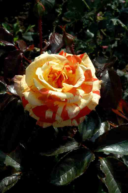 rose-oranges-and-lemons-ckj-copy