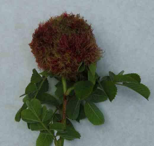 rose-robins-pincushin-copy