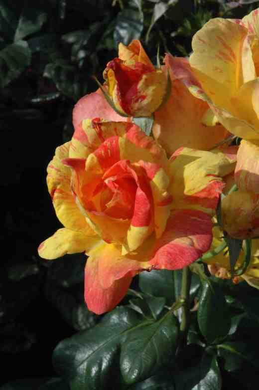 rose-tenacious-ckj4-copy