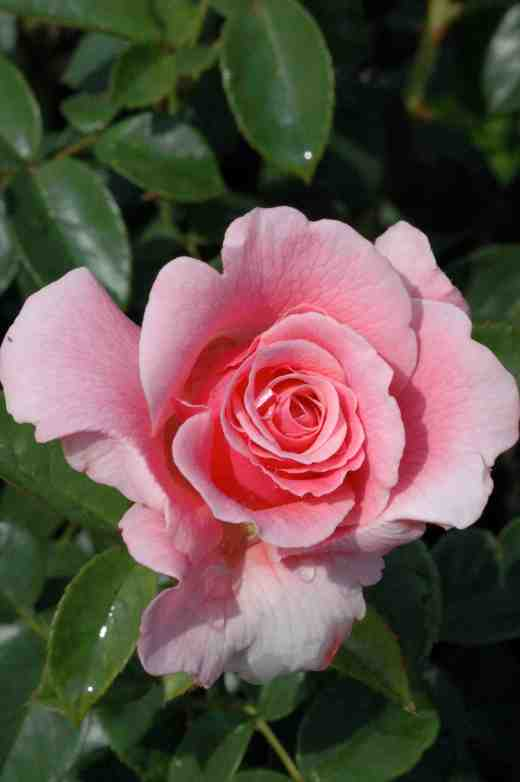 rose-tickled-pink-roty-2007-4-7-063-copy