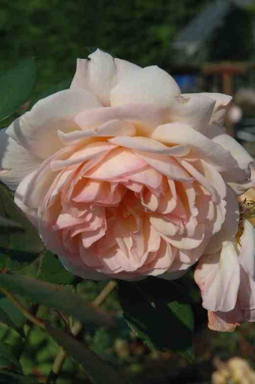 rosea-shropshire-lad-ckjones-copy