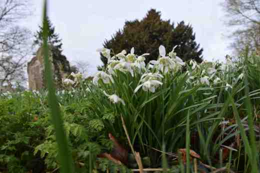 abbey-snowdrops-4