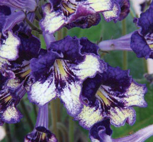 'Gold Dust' (C) www.dibleys.com