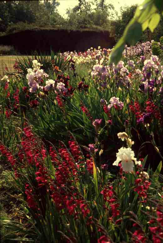 iris-beds-flower-2-copy