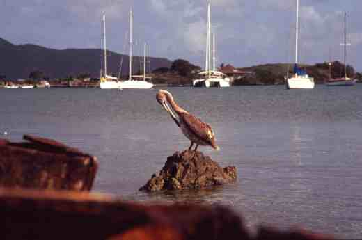 A curious bird is the pelican, - you know the rest!