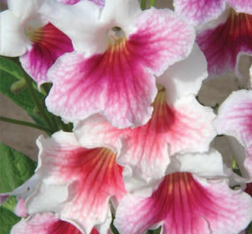 'Sweet Rosy' (C) www.dibleys.com