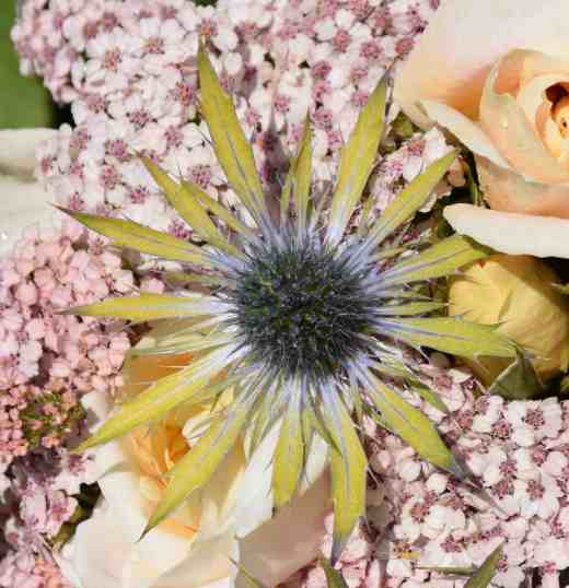 eryngium neptunes gold close
