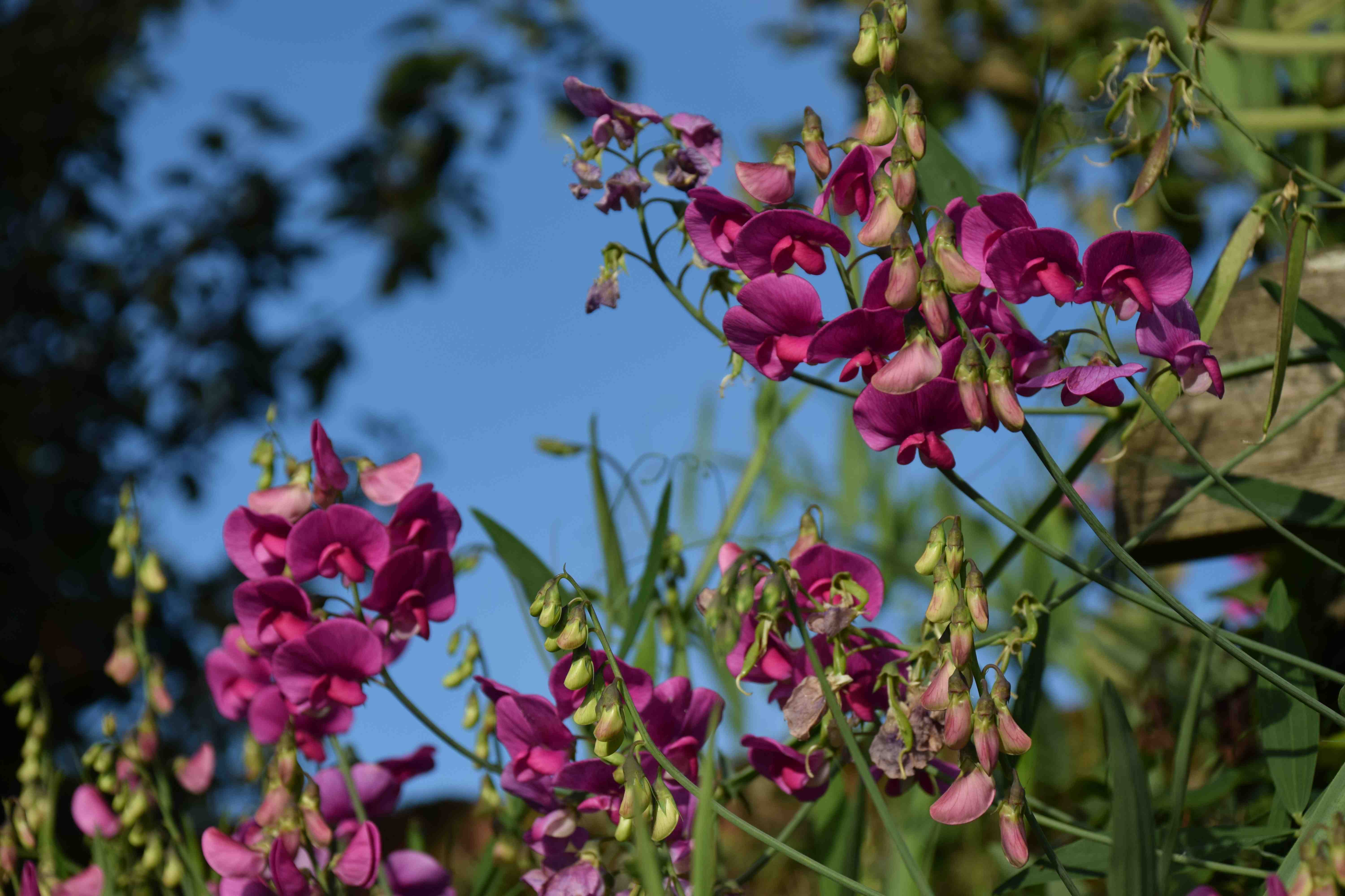 Everlasting sweet peas the biking gardener this is not really a myth but an annoying misapplication of a name the plant in question being the most commonly cultivated ornamental pea species izmirmasajfo