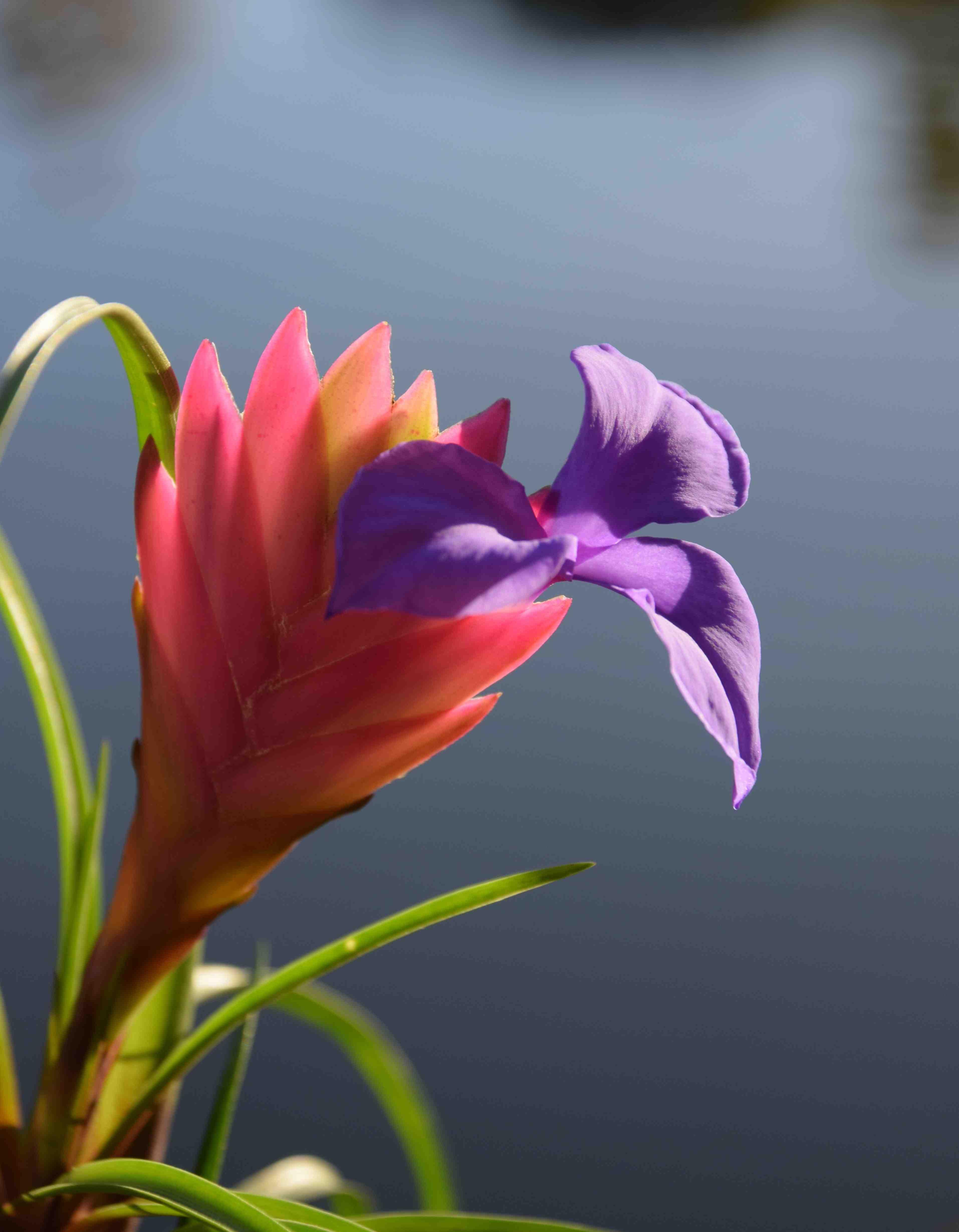 Tillandsia Cyanea Linden Ex K Koch: Ain't She Sweet: Tillandsia Cyanea
